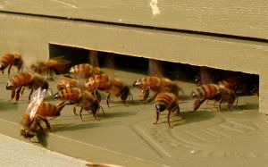 European honeybees show their flash-dance side